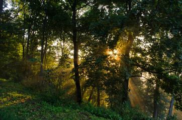 morning sun sunlight beams through coniferous tree