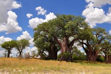 Famous Baines baobabs in Nxai pan in Botwsana
