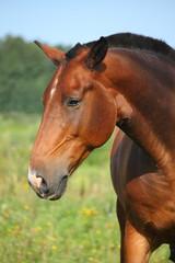 Beautiful bay horse portrait in summer
