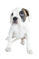 Beautiful  Boxer puppy