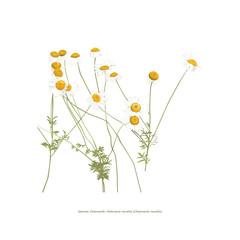 Chamomile flowers illustration on white