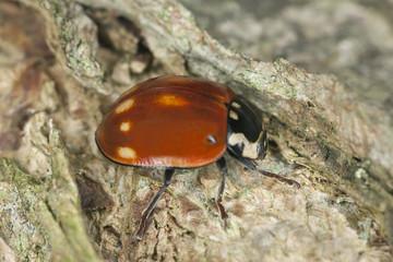 Ladybug sitting on wood, macro photo