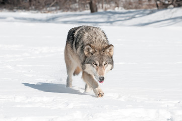 Deurstickers Wolf Grey Wolf (Canis lupus) Runs Along Snowy Riverbed with Tongue Ou