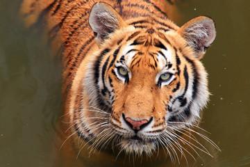 Foto auf Leinwand Tiger Close up Dangerous Tiger