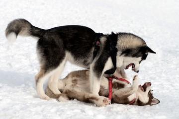spielende Huskys