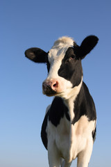 Wall Mural - Attentive cow
