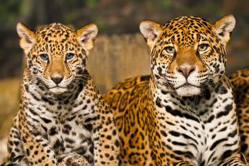 Jaguar Family