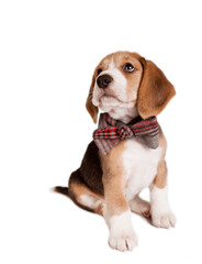 Sitting beagle puppy with bow tie
