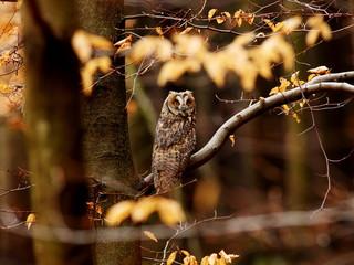 Canvas Print  - long eared owl