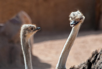 Close up of Two Ostrich's