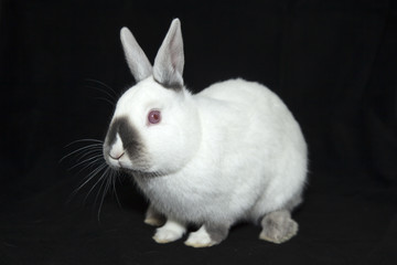 Obraz biały królik - fototapety do salonu