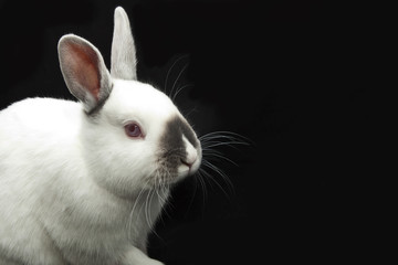 Obraz white rabbit - fototapety do salonu
