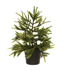 fir-tree with cones in a pot, isolated on the white
