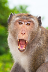 Macaque monkey living in a Buddhist temple, Thailand