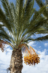 Palm tree with dates hanging from branches