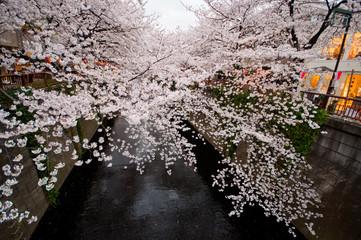 目黒川と満開の桜