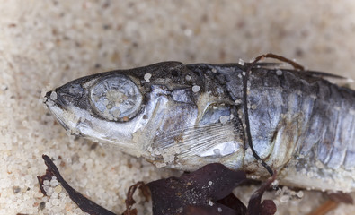 Macro shot of dead stickleback in the sand