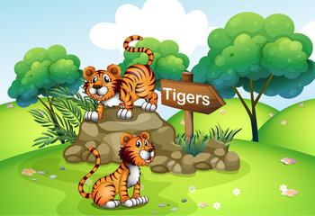 Tigers near the wooden arrow