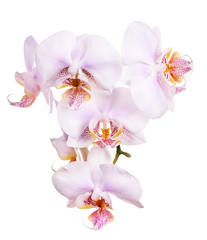 orchid flowers with pink spotted centers