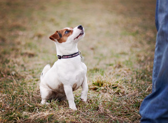 Jack Russel Terrier in nature