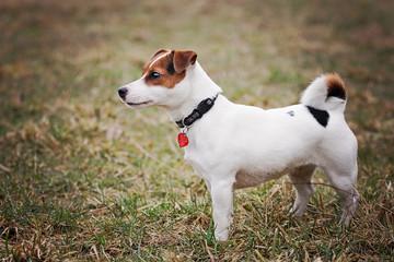 Jack Russel Terrier in nature