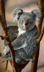 koala beauval