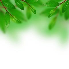 Green leaves on the white backgound