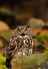 Fototapete - owl
