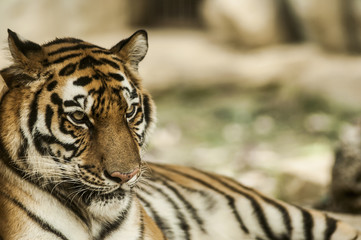 Calming Tiger, portrait of a bengal tiger.