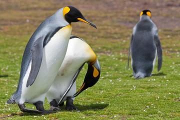 two king penguins runs