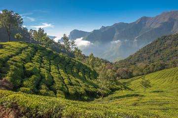 Keuken foto achterwand India Tea plantations in Munnar, Kerala, India