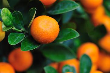 oranges on tree