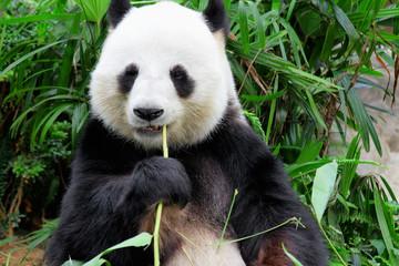 panda eating bamboo leaf
