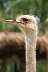 Ostrich head (Struthio camelus) watching for something