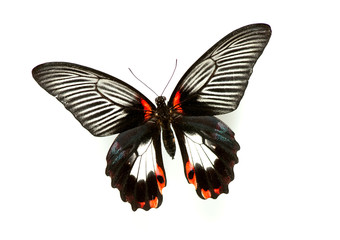 Exotic butterfly isolated on white background
