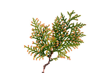 Thuja twig isolated on a white background
