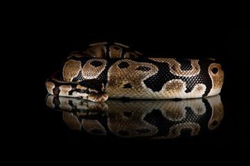 Python studio close up