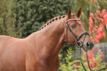 Nice dutch warmblood with perfect hairstyle