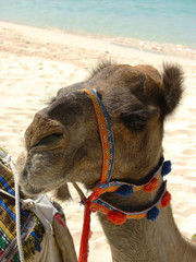 Camel on the beach in Dubai, UAE
