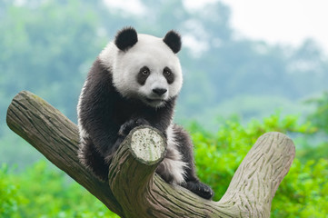 Spoed Fotobehang Panda Giant panda bear climbing in tree