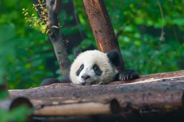 Zelfklevend Fotobehang Panda Panda bear head sticking out