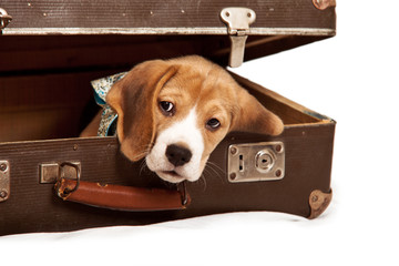 Cute beagle puppy into the old suitcase