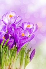 purple crocus wild flower plant in spring
