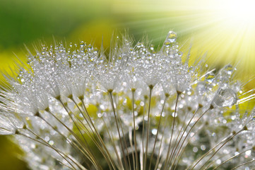 Wall Murals Dandelions and water dewy dandelion