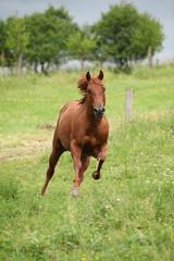 Nice Quarter horse stallion running on pasturage