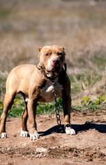 pit bull guard
