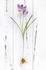 Spring crocus with bulb on a wooden background