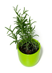 rosemary in a green pot