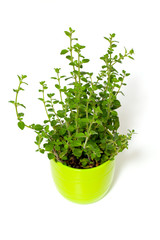 marjoram in pots isolated on white background