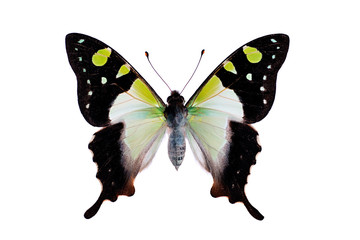 Butterfly - Macleays Swallowtail, Graphium macleayanus